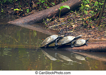 Amazonian River Turtles on the log - Arrau turtle, also...
