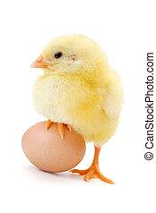 Little newborn chicken standing with half leg on egg