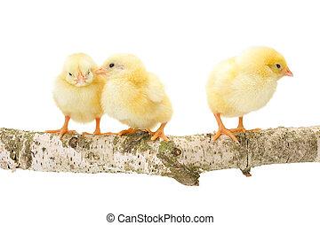 Three newborn chickens standing on wooden branch