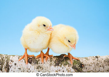 Two newborn yellow chickens standing on wooden branch