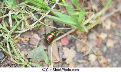 Chrysolina americana beetle - Brilliant iridescent beetle on...