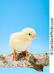 One newborn yellow chicken standing on wooden branch