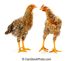 Pair of speckled pullets standing on white background