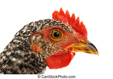 Macro of speckled pullet head Isolated on white