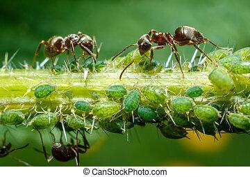 Levando,  Aphids, formigas, cuidado
