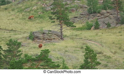 Brown cows on pasture