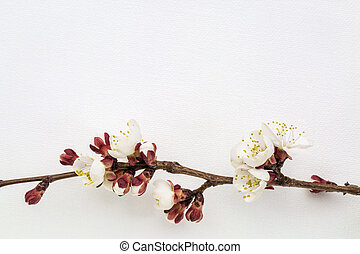 apricot tree flower on canvas