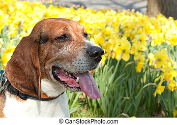 Cute Beagle Dog - A close up shot of a beagle dog posing...