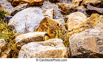 Chipmunk in the High Alpine in the Rocky Mountains at the...