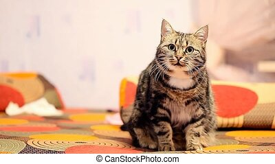 beautiful European cat is sitting on the couch.