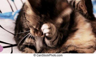 European cat, washing, cleaning