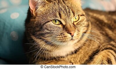 European tabby cat close up sitting on the bed