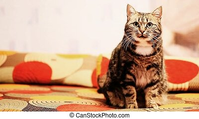 cat is sitting on the couch - beautiful European cat is...