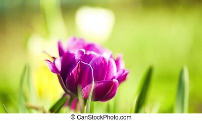 purple peony on a green field - purple peony on a background...