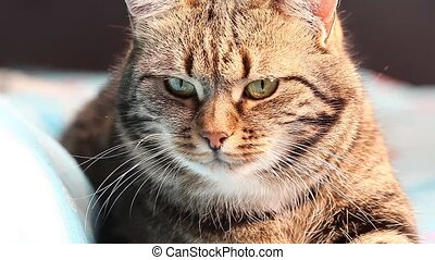 European tabby cat. close up