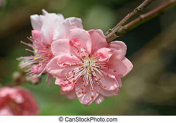 Japanese apricot blossom - Spring flowers series, Japanese...
