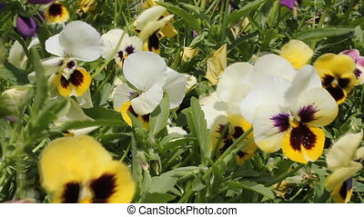 Colorful pansy flowers 18116 - Colorful pansy flowers on the...