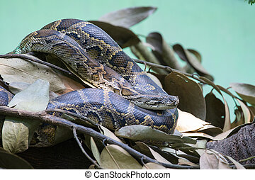 Python snake in nature, close up - Python snake in zoo...