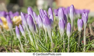 Time lapse footage of blossoming sa - Side view of Saffron...