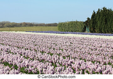 Dutch Floral industry - Fields with purple and white...