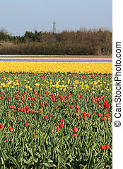 Fields with tulips - Dutch floral industry, fields with...