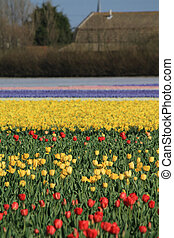 Dutch Floral industry Tulip fields - Red and yellow tulip...