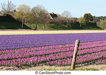 Fields with hyacints - Dutch floral industry, fields with...