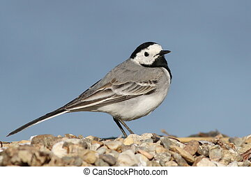 White Wagtail on river, Motacilla alba