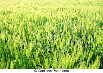 Wheat Grass Field beautiful texture during spring