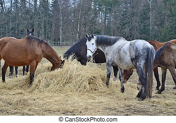 brown and piebald horses eating hay South Bohemia