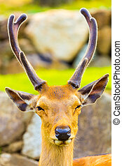 Deer Head Antlers Closeup Face Front Nara Japan - Closeup...