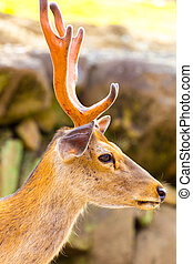 Deer Head Antlers Closeup Face Side Nara Japan - Closeup...
