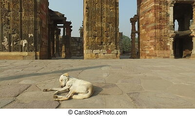 Stray dog in the Qutb Minar complex - Homeless, stray street...