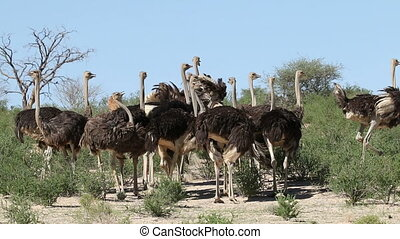 Ostriches in natural habitat - Group of ostriches (Struthio...