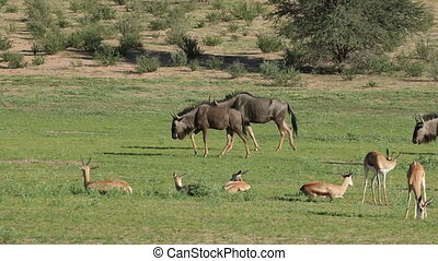 Springbok antelopes and blue wildebeast - Herd of springbok...