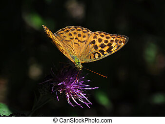 Cardinal butterfly Argynnis pandora on a purple flower