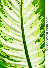 Macro image, Dieffenbachia leaf, Dumb Cane, for a background