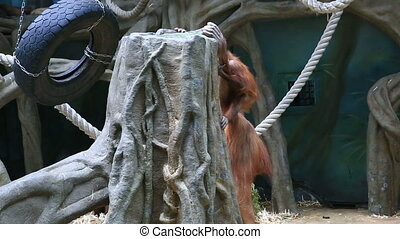Portrait of orangutan and cub climbing in zoo - Red haired...