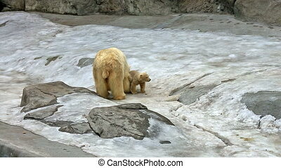 Polar bear and bear-cub feeding - Polar bear and cub eating...