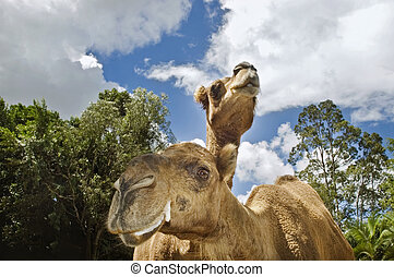 two camels looking