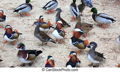 Many mandarin duck birds on sand shore - Flock of bright...