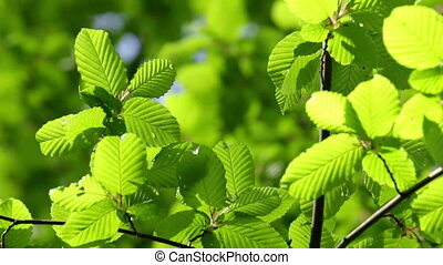 Hornbeam leaves - Harmonious forest detail, with hornbeam...