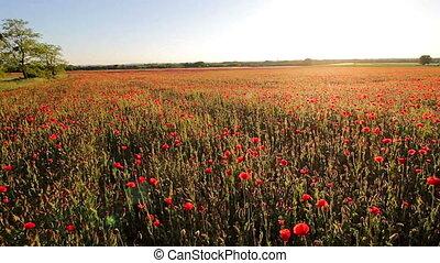 Red poppy field at spring