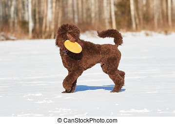 Dog with frisbee in winter - Poodle retrieving a frisbee in...