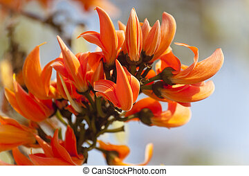 Orange Fire Flower - Butea Palash is native to India and is...