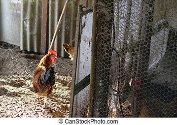hen in a farm