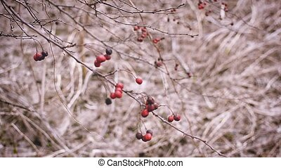 Bright red berries on a hawthorn branch - Bright red berries...