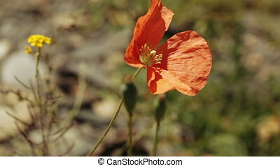 Alpine poppy red summer - Alpine red poppy on wind