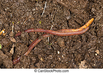red worm manure