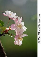 Sakura - Pink Sakura blossoms open on the tree...